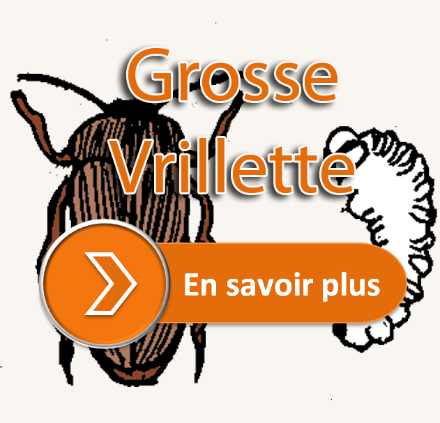 grosse vrillette - traitement charpente