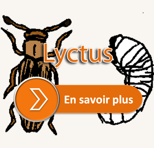 Lyctus traitement charpente